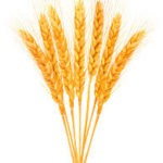 Drawing of wheat