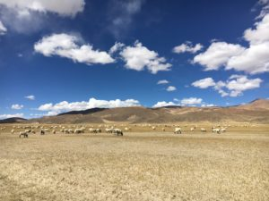 Flock of sheep on dry land