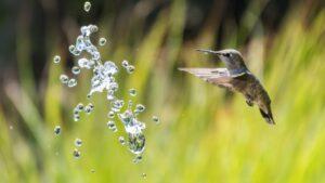 Hummingbird and splash of water