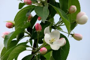 Close-up of apple tree in bloom